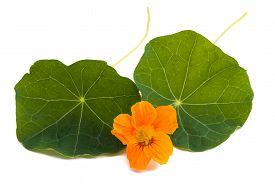 foto of nasturtium  - Nasturtium Orange flower with leaves isolated on a white background - JPG