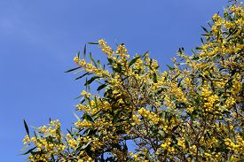 picture of mimosa  - branch of mimosa plant with round fluffy yellow flowers - JPG