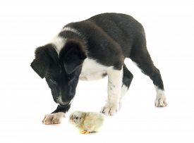 foto of collier  - puppy border collier and chick in front of white background - JPG