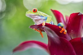 foto of red eye tree frog  - red eyed tree frog from the tropical jungle of Costa RIca and Panama macro of an exotic rain forest animal - JPG