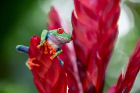 stock photo of red eye tree frog  - red eyed treefrog from the tropical jungle of Costa RIca and Panama macro of an exotic rain forest animal - JPG