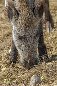 picture of boar  - wild boars living in captivity fenced area  - JPG