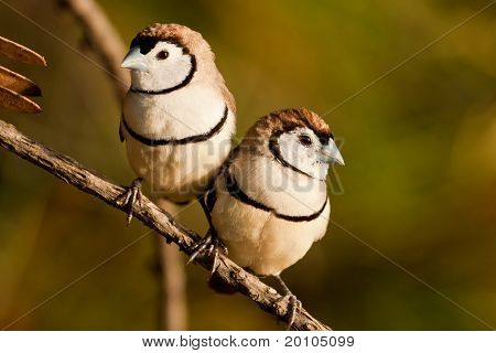 Double-barred Finch
