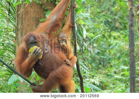 orang utan borneo