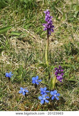 Early Purple Orchid & Spring Gentian