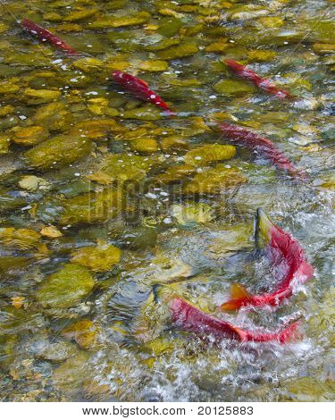 Sockeye Salmon Spawning In A Canadian River