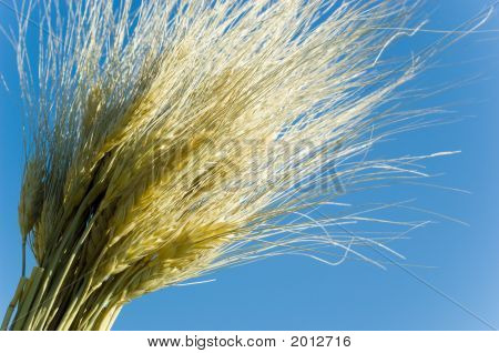 Wheat On Blue