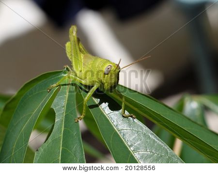 green grasshopper on the leafs