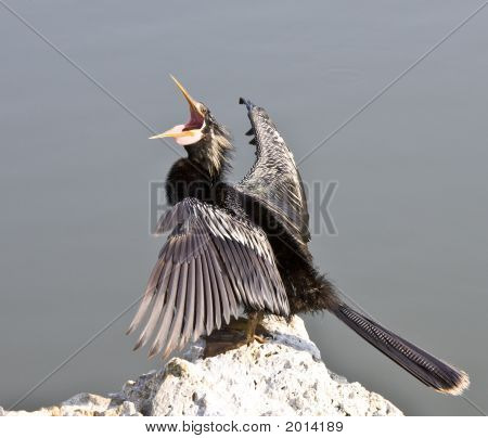 Anhinga Squawks While Sitting On A Rock.