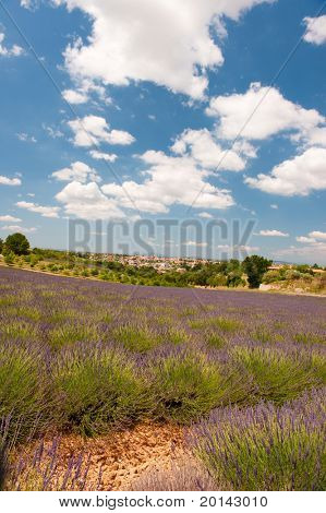 Lavender fields in the French Provence at the Valensole plateau