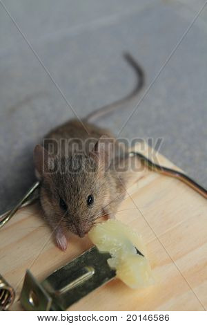Mouse trap with real mouse catched eating cheese
