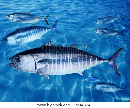 Thun Thunnus Thynnus Fisch Schule Unterwasser Schwimmen blauen Ozean