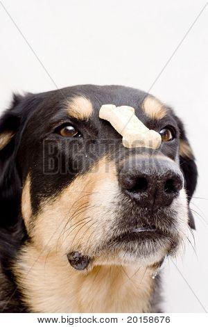 good dog balances cookie