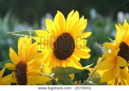 Shiny Happy Sunflowers