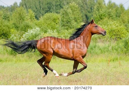 the bay stallion galloping