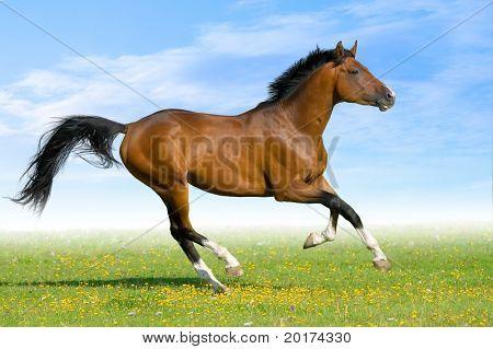 Baía cavalo