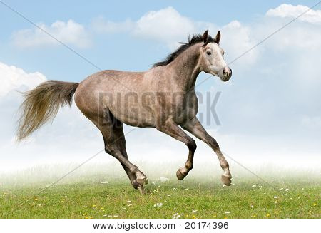 trakehner grey stallion