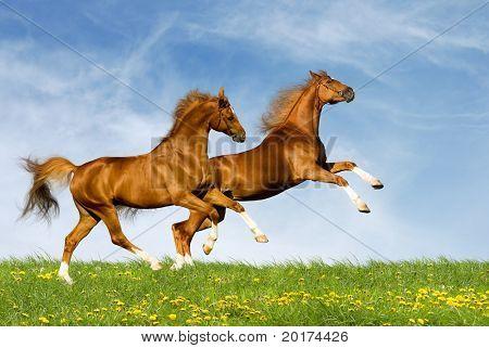 dos caballos castaños
