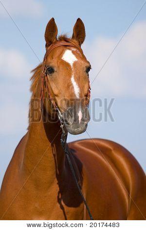 chesnut bavarian horse