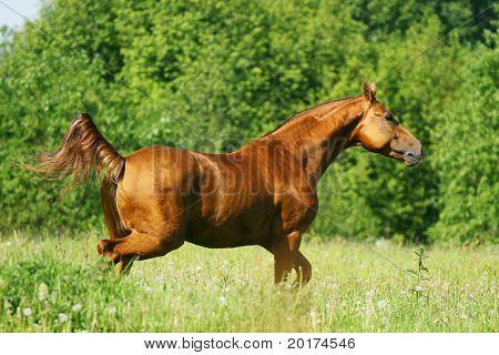 chesnut horse running