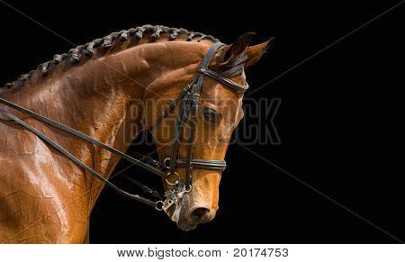 caballo de doma, Bahía - aislado en negro