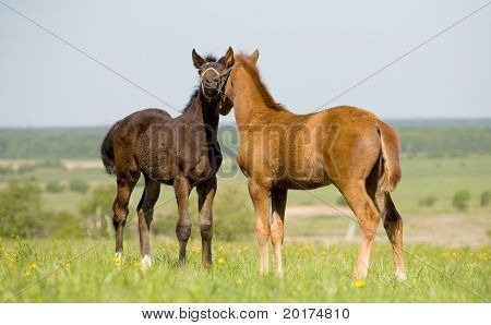 two foals in field