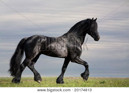 friesen stallion trot in field