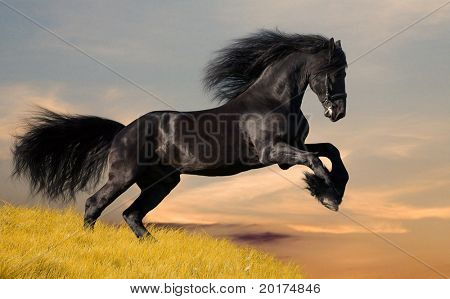 friesian stallion gallop in sunset