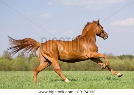 chestnut horse galloping in field