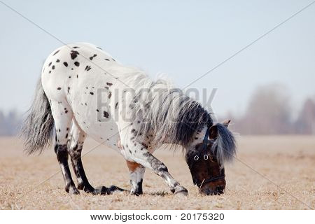 Beautiful pony appaloosa makes bow