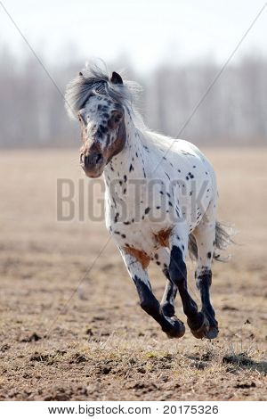 Beautiful pony appaloosa running in field