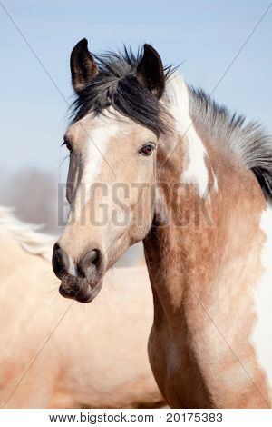Portrait of beautiful appaloosa horse in field