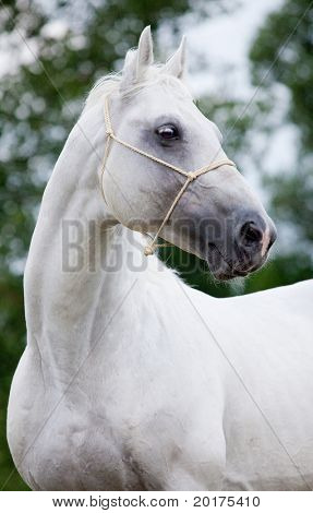 Portrait of beautiful  metallic gray hanoverian stallion in wood
