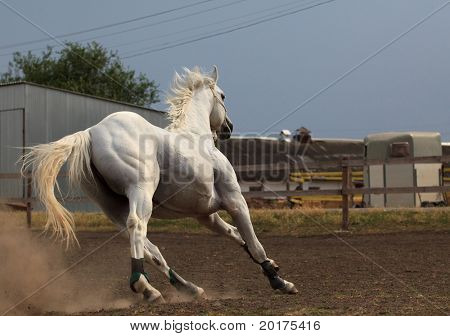 Beautiful metallic gray hanoverian horse galloping in wood
