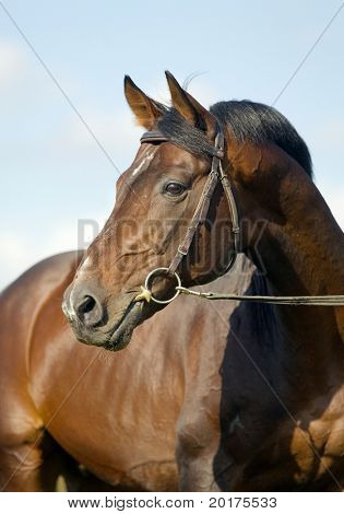 Portrait of seal brown Budenny horse