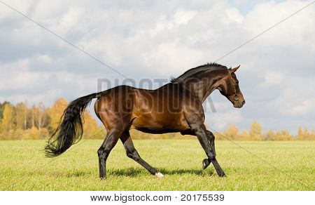 Seal brown Budenny horse galloping in field