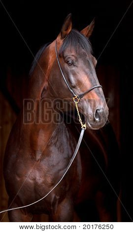 Portrait of dark bay horse, isolated on black background.