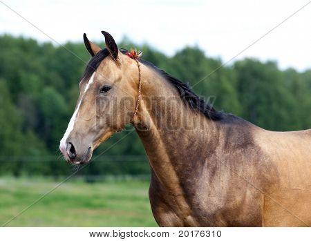 Portrait of buckskin Akhal-Teke stallion in field.