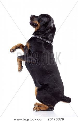 Rottweiler dog, isolated on white background, studio shot