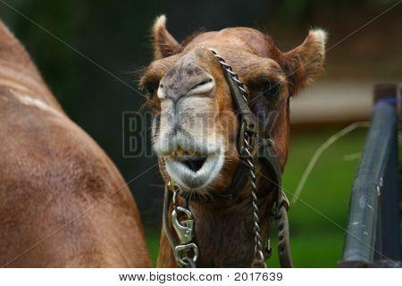 Camel Facial Expression
