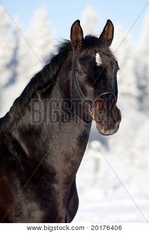 Black trakehner stallion in winter