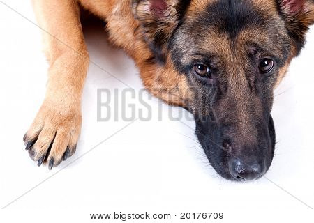 German Shepherd isolated on white background, studio shot.