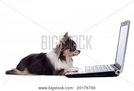 Chihuahua and laptop, isolated on white background, studio shot.