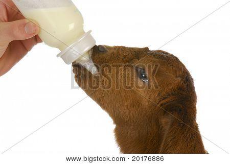 bottle feeding baby goat - south african boer kid 4 days old