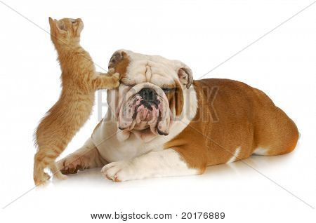 cat and dog - kitten climbing on english bulldog with reflection on white background