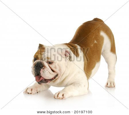 playful dog - english bulldog with bum up in the air in playful stance