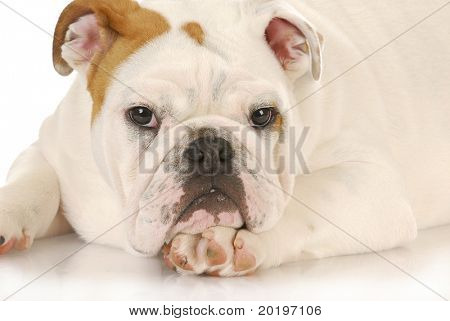 cute puppy - english bulldog puppy laying down on white background - 5 months old