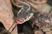 pic of harmless snakes  - A harmless red - JPG
