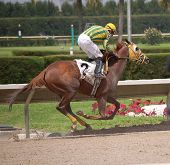 stock photo of blinders  - Post position two horse finishing first at a south florida race track - JPG