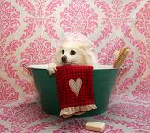 Dog Bath. A happy Pomeranian dog ready to take a bath in the tub. He is wearing a shower cap and has poster